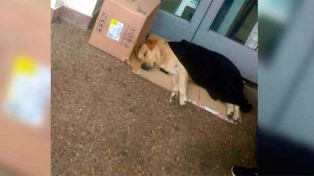 Преданный лабрадор неделю сидел у дверей больницы в ожидании хозяина