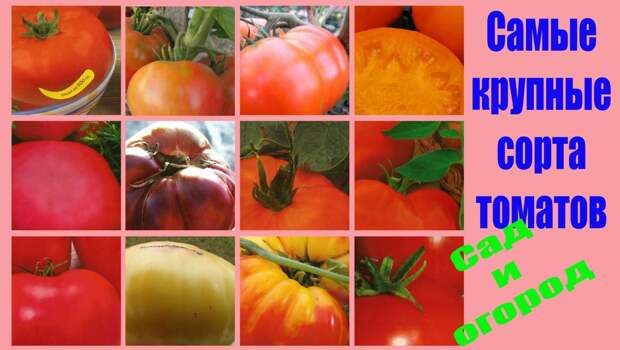 Самые крупные томаты