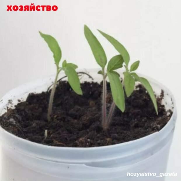 Как вырастить рассаду из... кусочка помидора