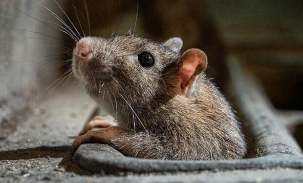 Китаец выглянул в окно и увидел, как по стене дома на 30-м этаже вверх поднимается крыса: видео