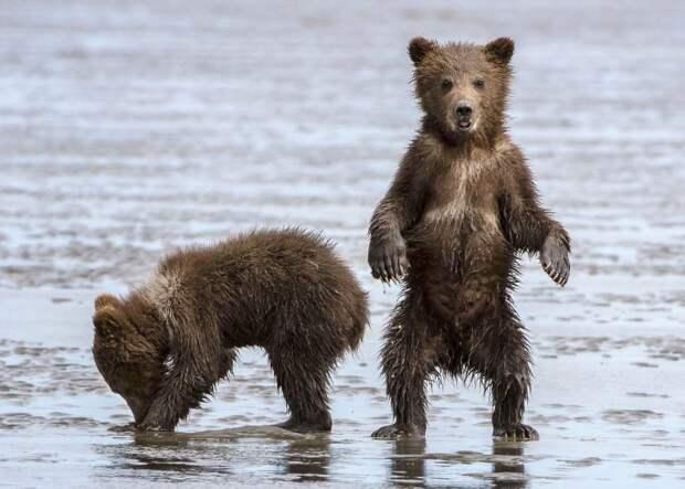Время для йоги! Фотограф заснял медведицу, которая потягивалась и кормила двух медвежат