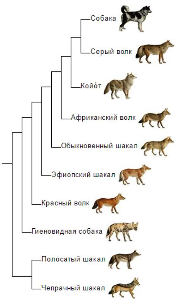 Оказывается, волки умнее собак: интересные факты о серых хищниках