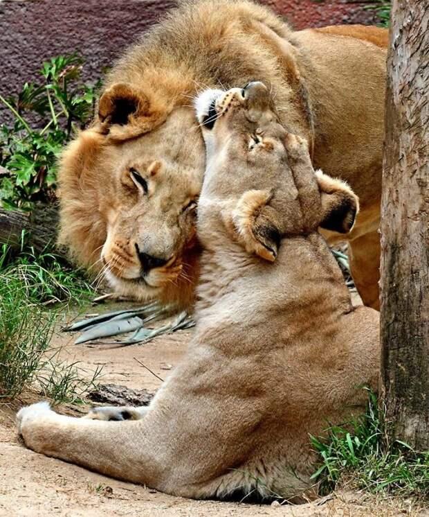 Любовь раз и навсегда: люди помогли пожилой паре львов вместе уйти на радугу