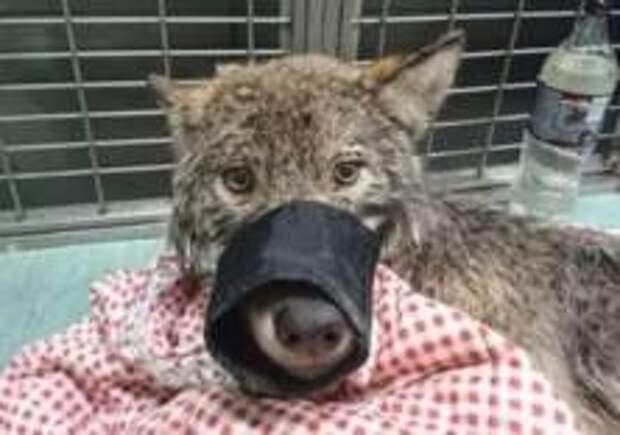 В Эстонии спасли волка из ледяной воды, перепутав его с собакой