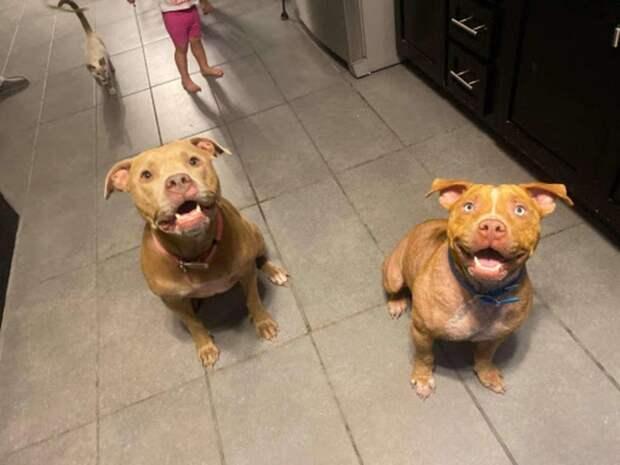 Питбуль — значит опасен: грустная история о собаке, которую все отвергали из-за породы