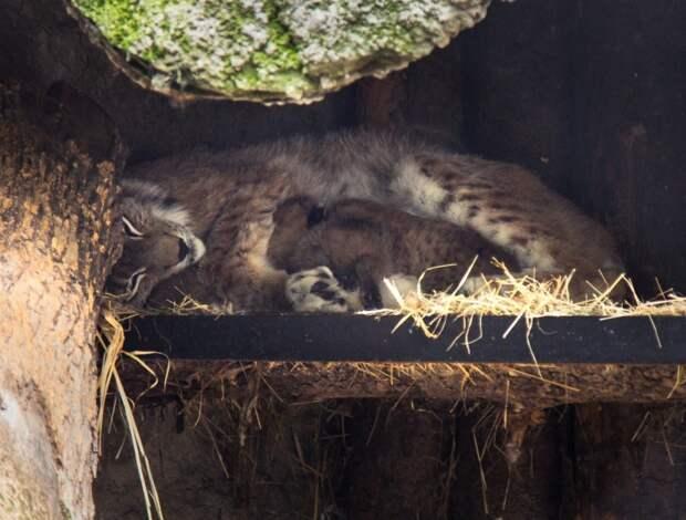 В московском зоопарке впервые за 10 лет родились котята европейской рыси