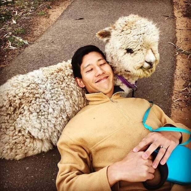 Как любой уважающий себя альпака, Алфи пушист Instagram, альпака, домашний питомец, животные, милота, фото
