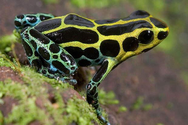 ТЕРЕМОК. 10 самых красивых и ядовитых лягушек