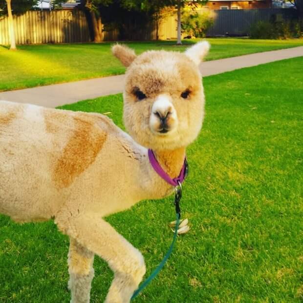 Знакомьтесь со звездой Инстаграма! Instagram, альпака, домашний питомец, животные, милота, фото