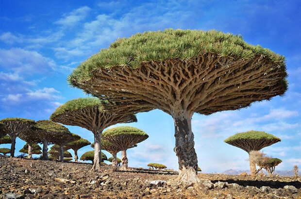 Драконовое дерево деревья, невероятное, природа, удивительное, флора
