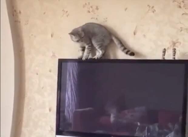 Застрявший на телевизоре кот насмешил свою хозяйку