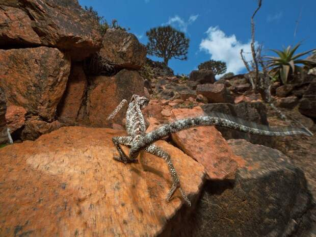 Chameleon, Socotra