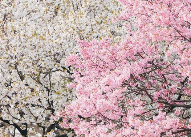 Сакура — это слива или вишня, и когда японцы собирают урожай