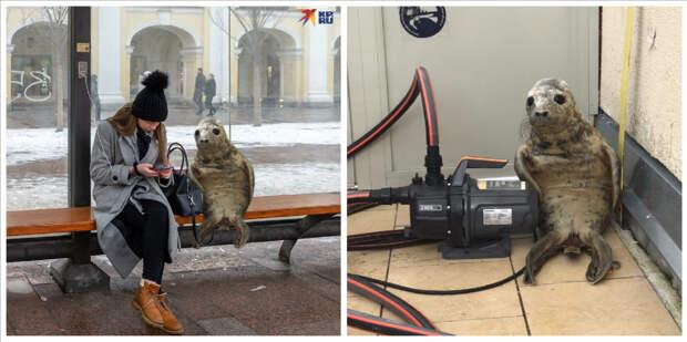 Как вПитере детеныш тюленя пытался сбежать истал мемом