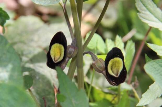 В нацпарке Сочи распустился редкий цветок-саксофон