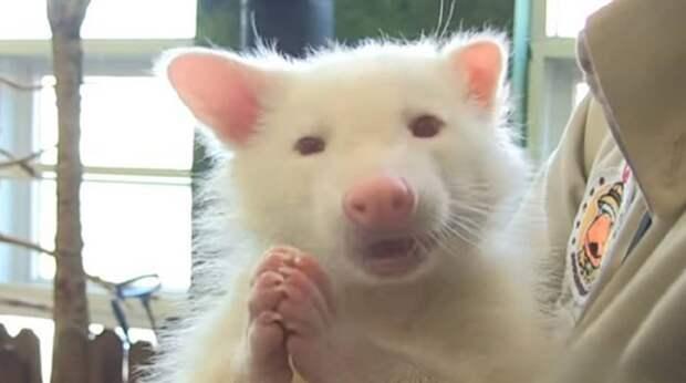 Белого енота бросили родители, и теперь активный альбинос дает «прикурить» всему приюту