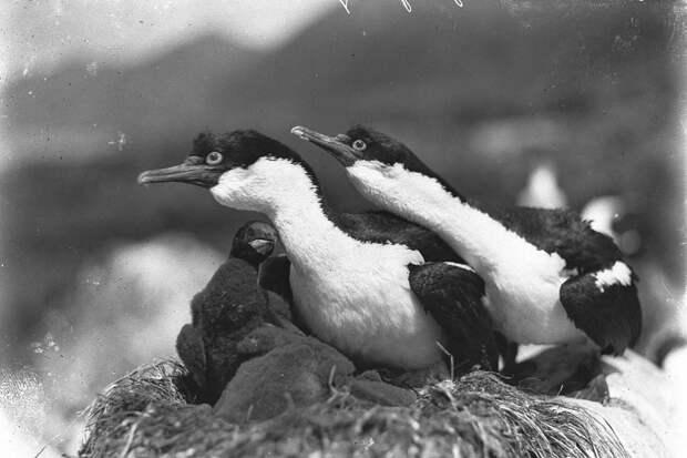 Первая Австралийская антарктическая экспедиция в фотографиях Фрэнка Хёрли 1911-1914 60