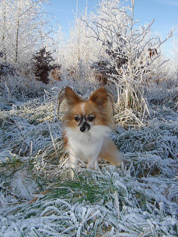 самые маленькие породы собак: Папильон. фото