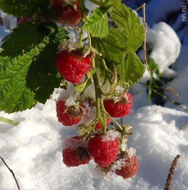 Как подготовить малину и ежевику к зиме – полезные советы дачникам