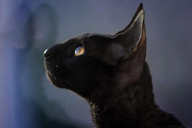 Разносчицы удачи - загадочные чёрные кошки 45 <br>Фотографий