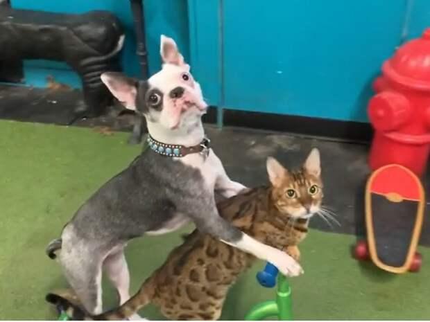 Собака и кот на самокате поставили мировой рекорд
