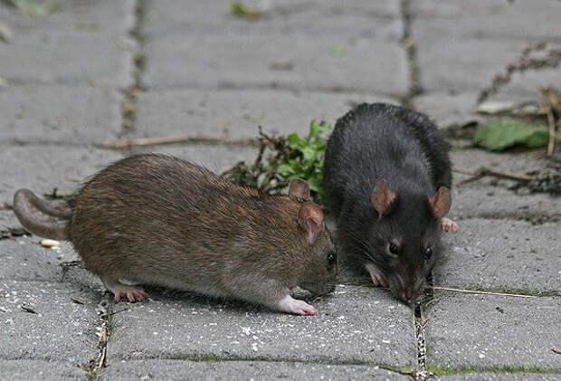 Крыс больше нет, можете спать спокойно