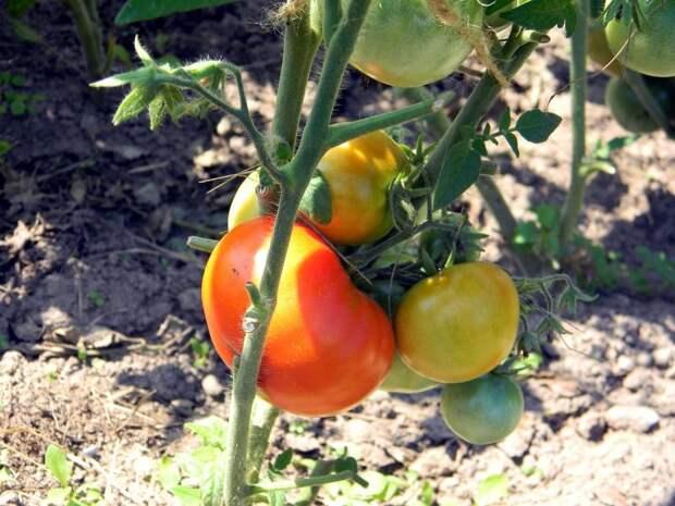 Сидераты для томатов – как на самом деле оздоровить почву и повысить урожайность
