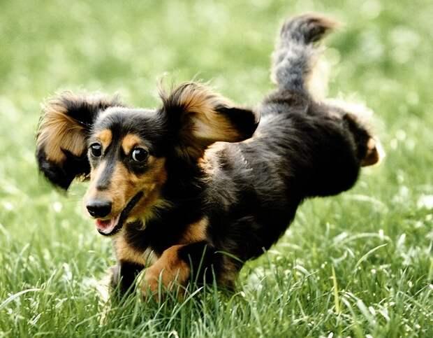 Кроличья такса - самая низкорослая порода собак. фото