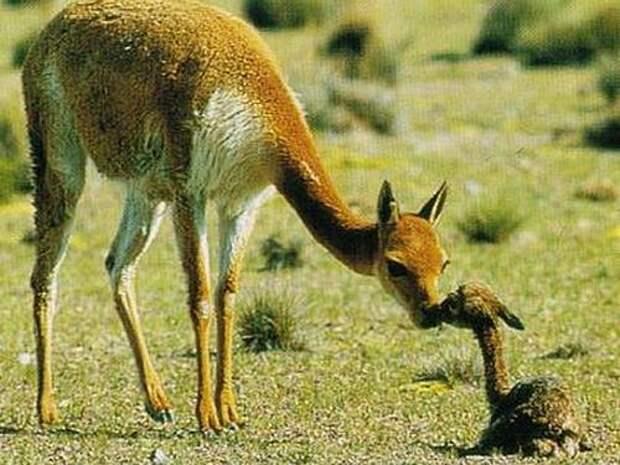 Викунья-животное-Описание-и-образ-жизни-викуньи-9