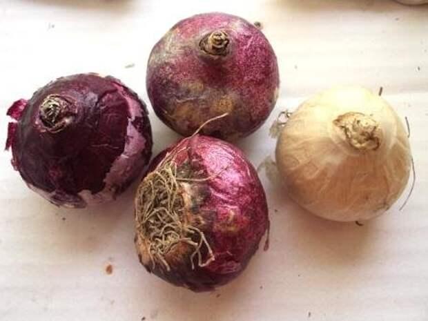 четыре луковицы цветов