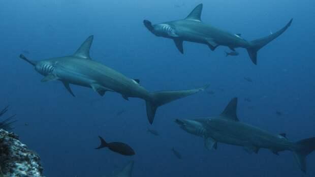 Белые акулы используют «тренировочные лагеря» для обучения молодых особей охоте