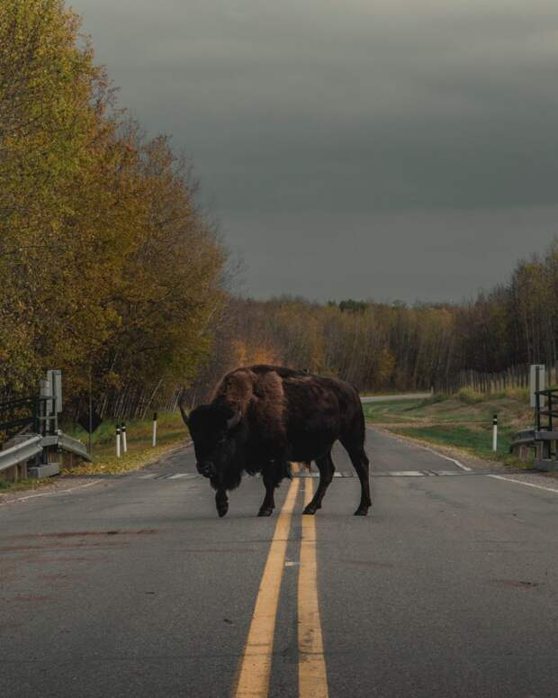 Бизона больше не относят к исчезающим видам, но это не означает, что популяция в безопасности. Фото: unsplash.com