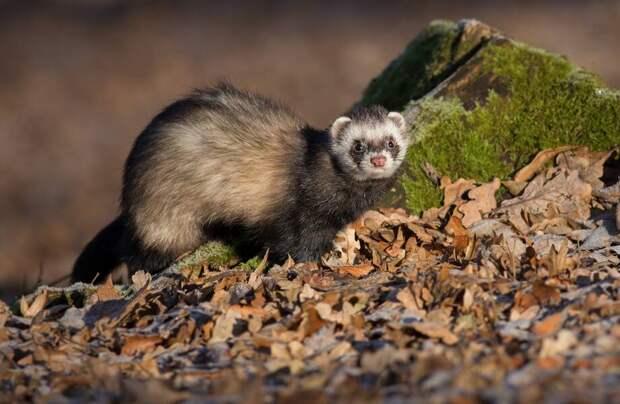 Видео: Зачем природа наградила хорьков гибким телом и короткими лапами
