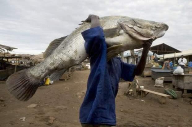 Нильский окунь – главный источник доходов и причина процветания Мгинго