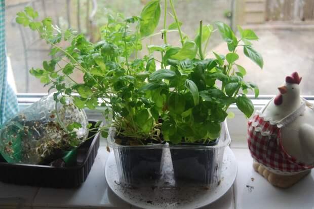 Выращиваем зелень на подоконнике круглый год