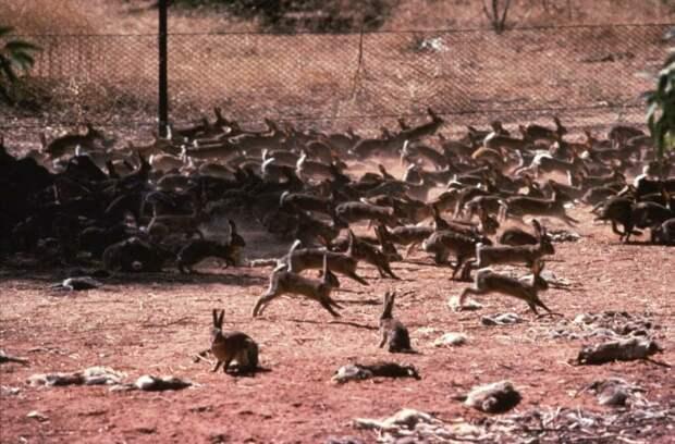 В Австралии стаи кроликов были такими большими, что очень скоро они стали экологическим бедствием.