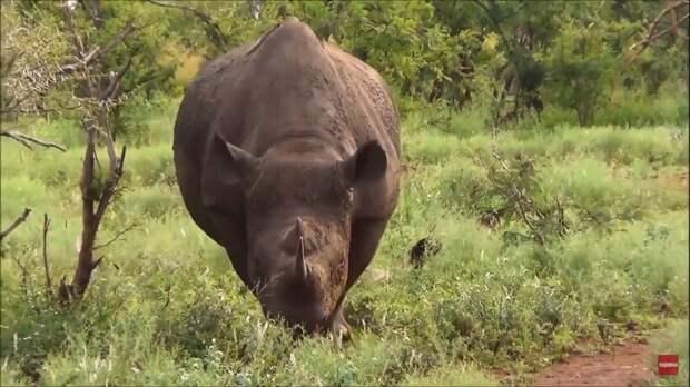 Черные носороги — африканские тяжеловесы: почему их перевозят за ноги на вертолете