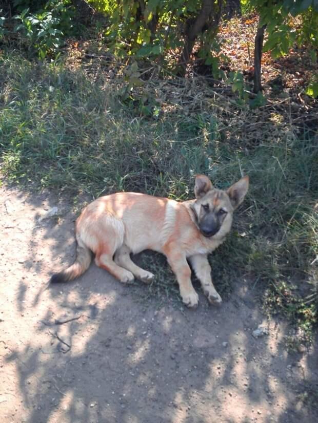 Голодный щенок подбегал к домам дачников в поисках пищи