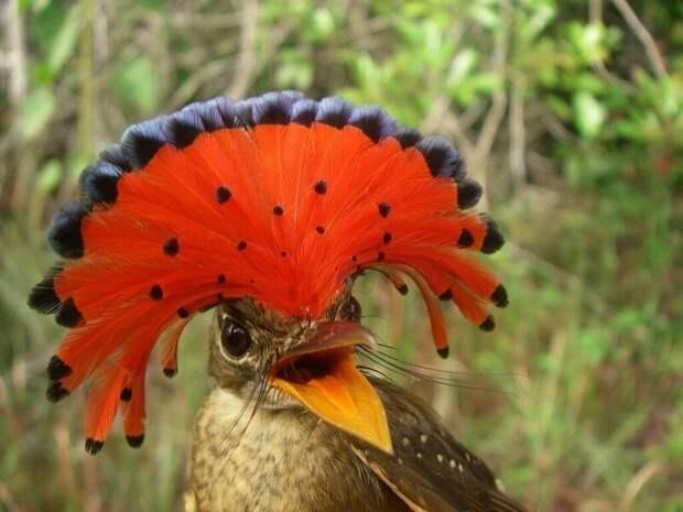 Славный птах: знакомьтесь, венценосный мухоед