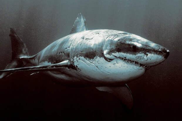 Почему в океанариумах не держат большую белую акулу