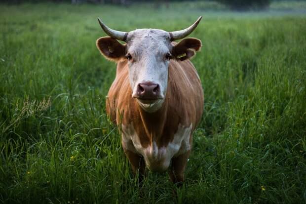 Водителей предупредили о перегоне скота на дороге под Рязанью