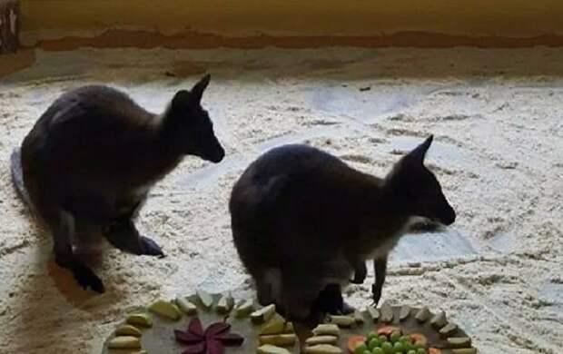 В Белгородском зоопарке случился беби-бум кенгуру
