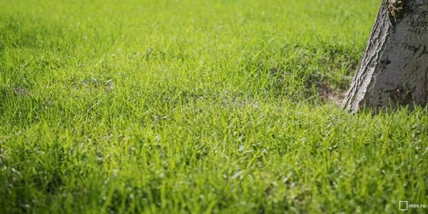 «Грушевую аллею» засеяли газонной травой