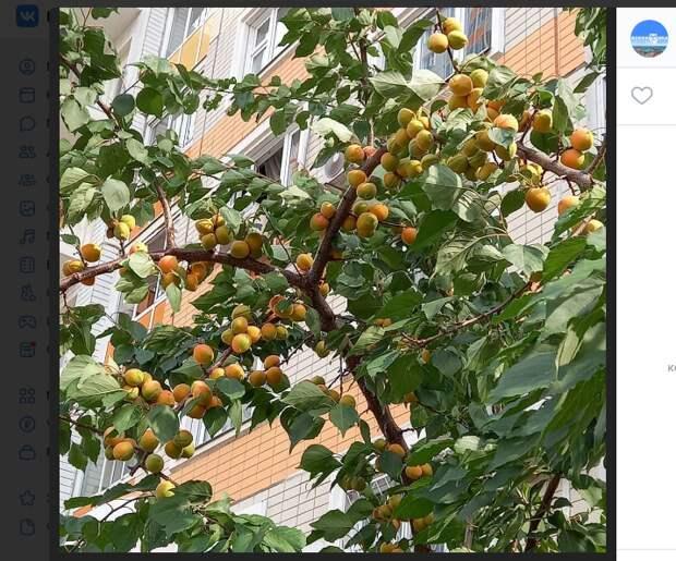 Чрезмерное употребление растущих в Некрасовке абрикосов вредно – эколог