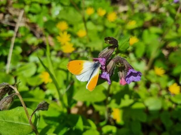В парке «Покровское-Стрешнево» заметили краснокнижную бабочку