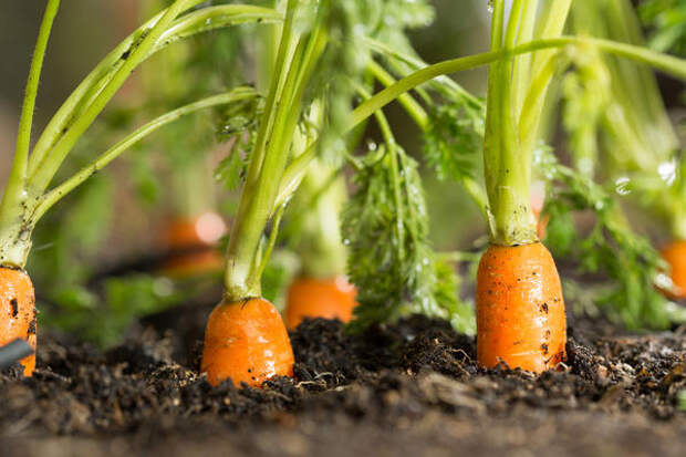 Луковую муху отпугивает аромат моркови