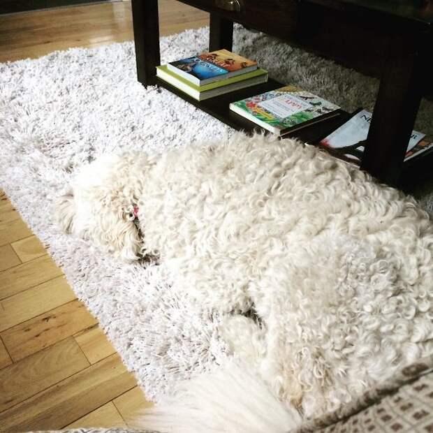 Собачка Клементина знает, где лучше расслабиться! животные, расслабленность, смешно, фото