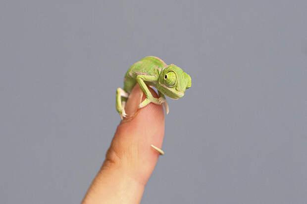 cute-baby-chameleons-582b841bb966d__700