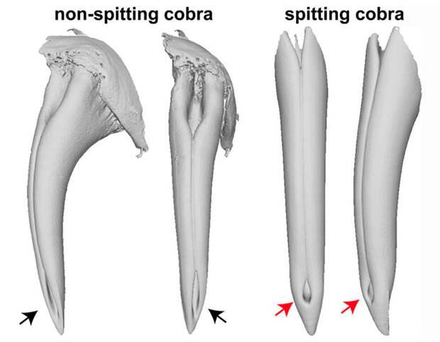 Рис. 2. Морфологические адаптации ядовитых зубов у кобр