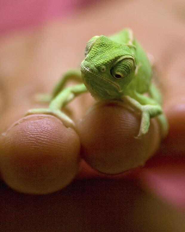 cute-baby-chameleons-5830333732851__700